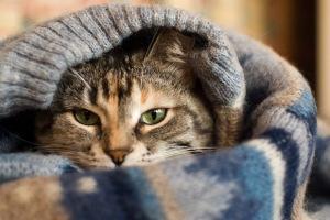 cat in pullover